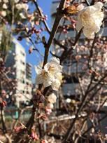 桜もほころぶ・・・